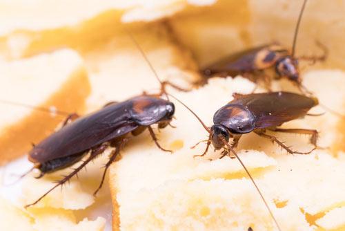 cucarachas bilbao