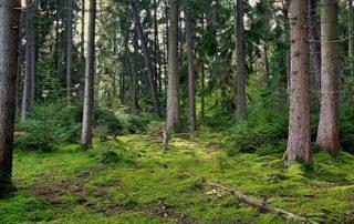 Banda marrón no afecta a pinos de Bilbao