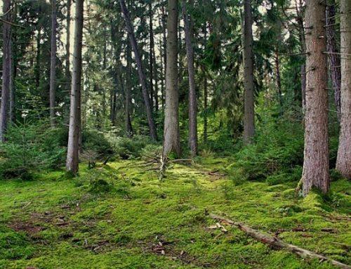 La plaga de la banda marrón apenas afecta a los pinos de Bilbao