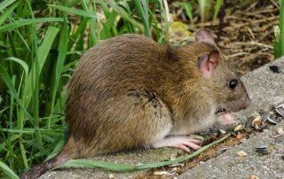 Plaga de ratas en los campos de fútbol de Ibarsusi en Bilbao