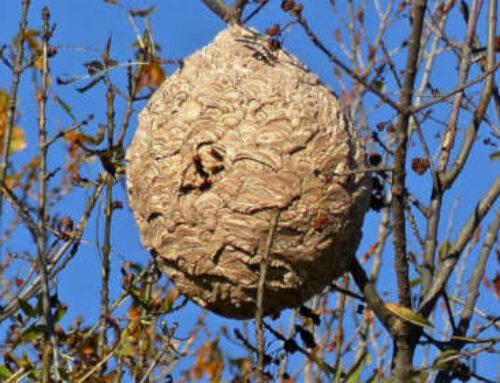 La plaga de avispa asiática no para de crecer en el Gran Bilbao