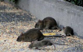 Consejos para evitar una plaga de ratas en Bilbao
