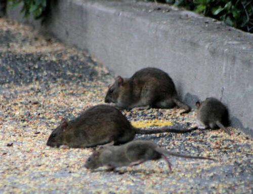 Consejos para evitar plagas de ratas en Bilbao