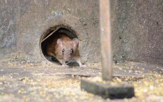 Protección contra plagas de ratas en Bilbao
