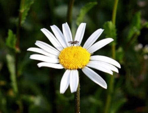 Flores y plantas que atraen a los mosquitos y a las moscas