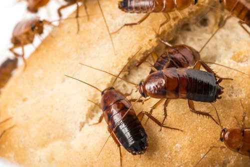 Enfermedades que transmiten las cucarachas a los humanos