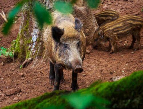 La caza considerada una actividad de fuerza mayor por una plaga de jabalíes en Bizkaia