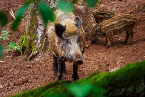 Autorizada la caza por una plaga de jabalíes en Bizkaia
