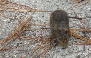 Aumenta la plaga de ratas en un municipio perteneciente al Gran Bilbao